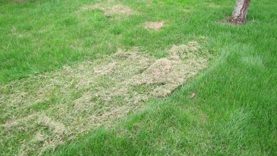 Déchaumage de la pelouse